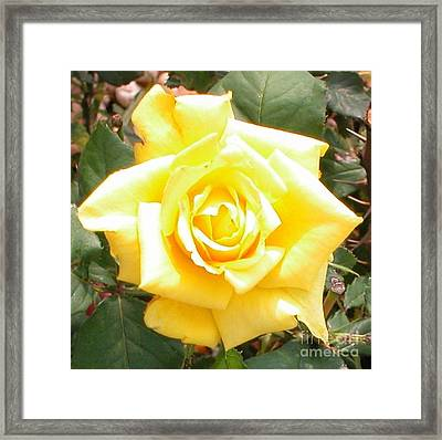 Yellow Rose At High Noon Framed Print by Alys Caviness-Gober
