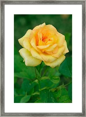 Yellow Rose Framed Print by Atiketta Sangasaeng