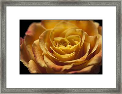 Yellow Rose Bud Framed Print by Zoe Ferrie