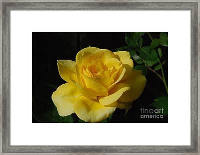Yellow Rose Close Up Framed Print