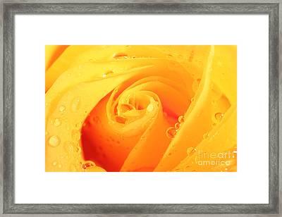Yellow Rose Framed Print by Nicola Gordon