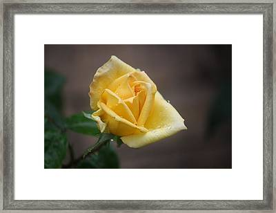 Yellow Rose Of Texas Framed Print by Donna  Smith