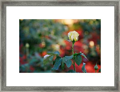 Yellow Rose Framed Print by Timothy Turner