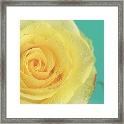 Yellow Rose With Dew Drops Framed Print by Maria Kallin