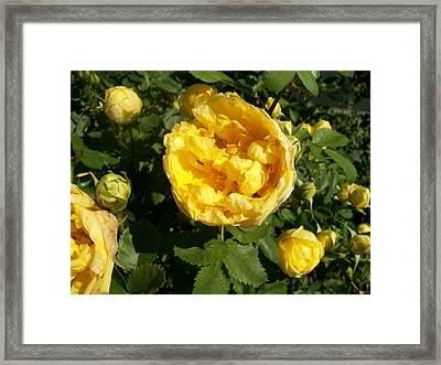 Yellow Roses Framed Print