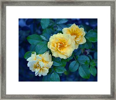 Framed Print featuring the photograph Yellow Roses by Rodney Campbell