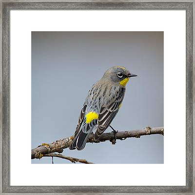 Yellow-rumped Warbler Framed Print by Bob Smithing