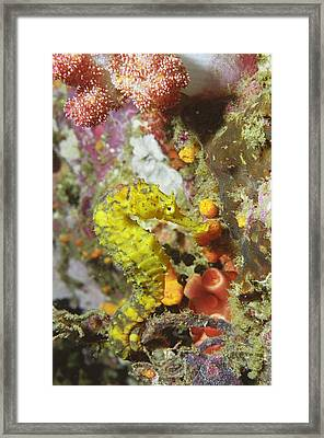 Yellow Seahorse Framed Print by Peter Scoones
