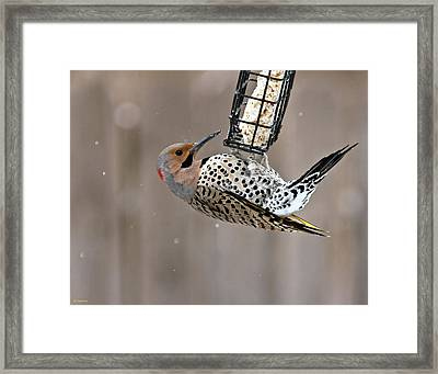 Yellow-shafted Northern Flicker Feeding Framed Print by Edward Peterson