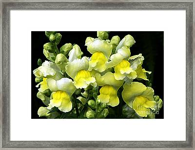 Yellow Snapdragons Enhanced Framed Print by Sharon Talson