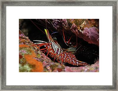 Yellow Snout Red Shrimp Framed Print by Sami Sarkis
