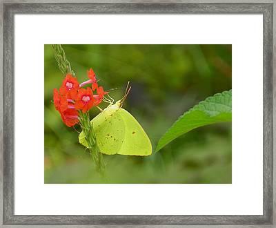 Yellow Sulfur Butterfly Framed Print by Judy Wanamaker