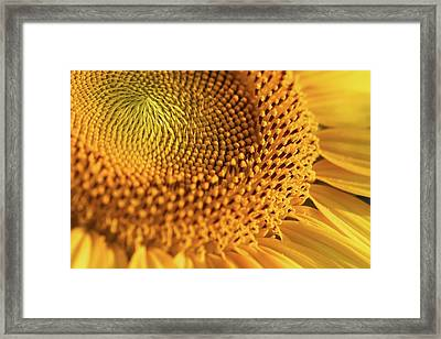 Yellow Sunflower Framed Print