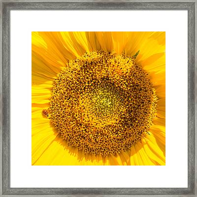 Yellow Sunflower With Ladybug - Square Format Framed Print