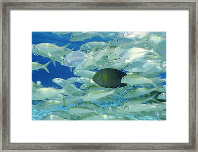 Yellow Surgeon Fish With Yellow Stripe Goldfish Framed Print by Comstock