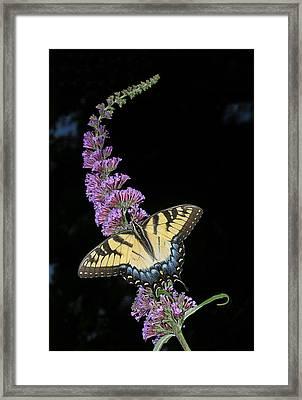 Yellow Swallowtail Framed Print by Steve Zimic