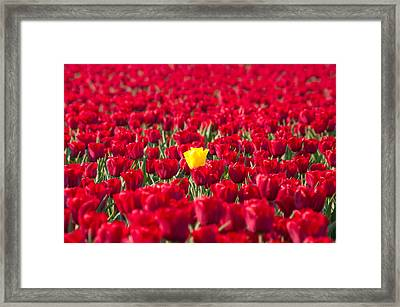 Framed Print featuring the photograph Yellow Tulip by Hans Engbers