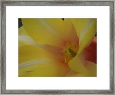 Yellow Tulip Trumpet Framed Print