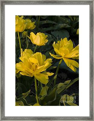 Yellow Tulips  Tulipes Jaune Framed Print by Nicole  Cloutier Photographie Evolution Photography