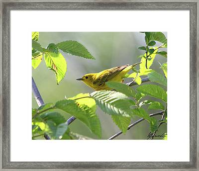 Yellow Warbler Framed Print by Sarah  Lalonde