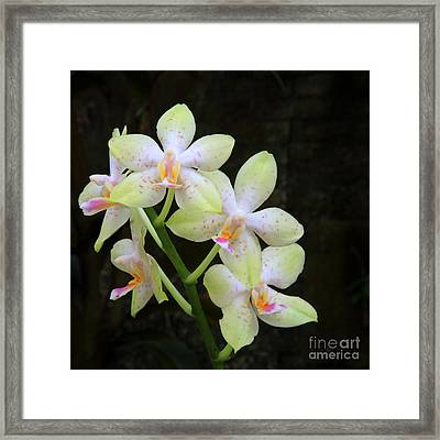 Yellow White Orchid Framed Print