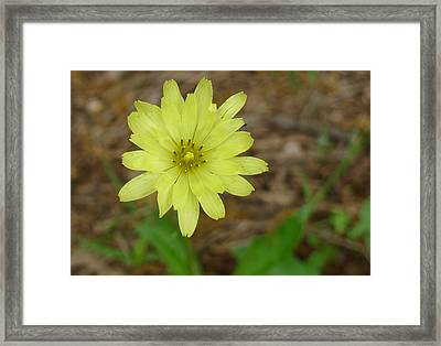 Yellow Wild Flower Framed Print by Linda Pope