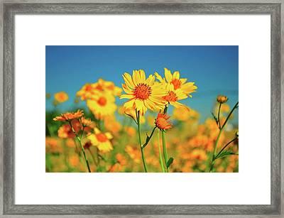 Yellow Wildflowers Framed Print by Sandy L. Kirkner