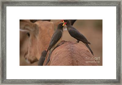 Yellowbilled Oxpeckers Framed Print