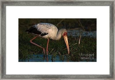 Yellowbilled Stork Framed Print