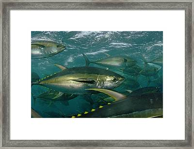 Yellowfin Tuna Are Cage-fed To Improve Framed Print
