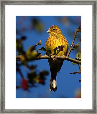 Yellowhammer Framed Print