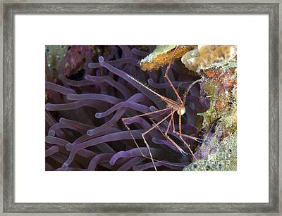 Yellowline Arrow Crab With Eggs Framed Print by Karen Doody