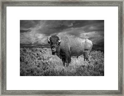Yellowstone Buffalo Bison In Black And White Framed Print by Randall Nyhof