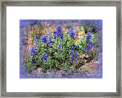 Yellowstone Lupine Blue Framed Print by Carol Groenen
