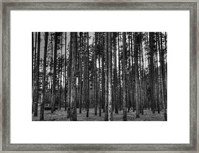 Yellowstone Trees Bw Framed Print by Bruce Friedman