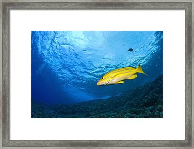 Yellowtail Snapper, Molokini Crater Framed Print by Stuart Westmorland
