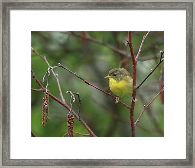 Yellowthroated Warbler Framed Print
