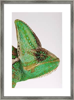 Yemen Chameleon, Close-up Of Head, Side View Framed Print by Martin Harvey