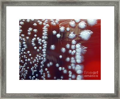 Yersinia Pestis Culture Framed Print by Science Source
