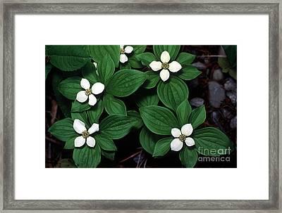 Yoho - Bunchberry Dogwood 1 Framed Print by Terry Elniski