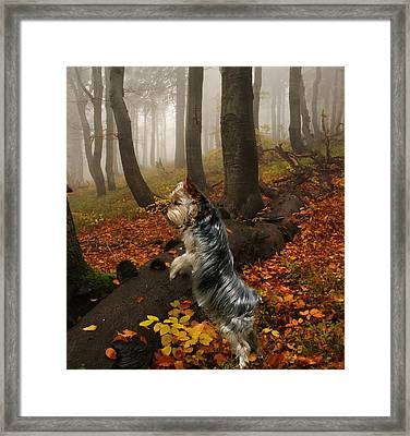 Yorkie On The Hunt Framed Print