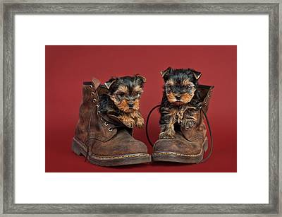 Yorkshire Terrier Puppies  Framed Print by Marta Holka