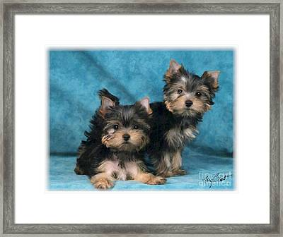 Yorkshire Terrier Pups 3 Framed Print by Maxine Bochnia