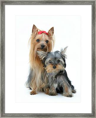 Yorkshire Terriers Framed Print by Jane Burton