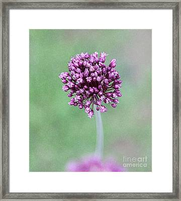 Yorktown Onion Framed Print by Marilyn West