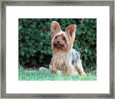 Yorky Framed Print by Billie-Jo Miller