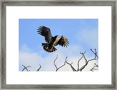 Young Bald Eagle Taking Flight Framed Print