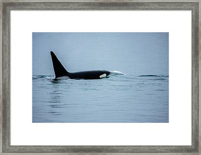 Young Bay Orca Framed Print by Josh Whalen