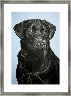 Young Black Labrador Framed Print by Lucy Swinburne