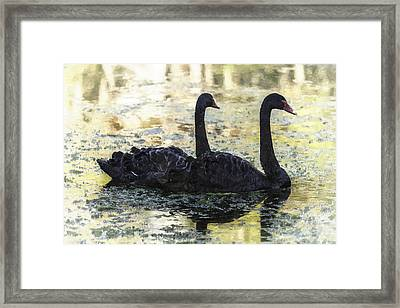 Young Black Swans Framed Print